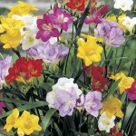Freesia 50 Bulbs, only £9.99!