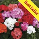 Geranium Parade 30 Ready Plants + 15 FREE, only £9.99!