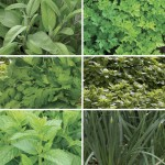Tasty Herb Collection 12 XLarge Plants, just £9.99!