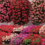 Busy Lizzie (Impatiens) Summer Waterfall 50 Ready Plants + 20 FREE, only £12.99!