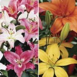 Oriental and Asiatic Lilies 10 Bulbs, only £11.99!