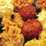 Marigold Melody 50 Ready Plants + 20 FREE, only £12.99!