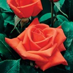 Hybrid Tea Rose Orange Perfume 1 Plant Bare Root, just £8.99!