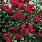Climbing Rose Etoile de Hollande 1 Plant Bare Root, just £8.99!