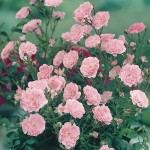Patio Rose Pink 1 Plant Bare Root, just £8.99!