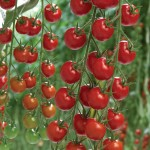 Tomato Supremo Cherry Red 1 Plant 9cm Pot, just £5.99!