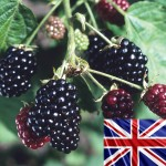 Blackberries Loch Ness 3 Bare Root Plants, just £11.99!