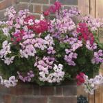 Geranium Balcony 24 Super Ready Plants, only £13.99!