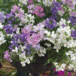 Nemesia Poetry 24 Super Ready Plants, only £12.99!