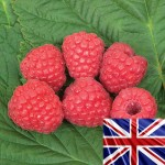 Raspberries Glen Ample 5 Plants Bare Root, just £11.99!