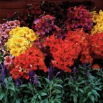 Salpiglossis Regale 24 Super Ready Plants, only £12.99!