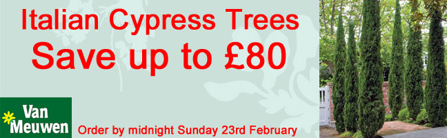 Italian Cypress Trees - SAVE UP TO £80