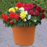 Begonia Double 1 Pre-Planted Container, only £12.99!