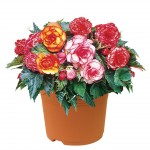 Begonia Picotee Mix 1 Pre-Planted Container, only £12.99!