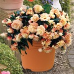 Begonia Champagne 1 Pre-Planted Container, only £12.99!