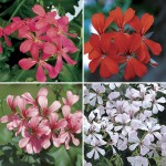 Geranium Mixed Ivy 6 Jumbo Ready Plants, just £10.99!
