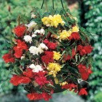 Begonia Pendula Mix (Trailing) 1 Pre-Planted Hanging Basket, only £12.99!