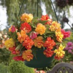Begonia Gold Balcony 1 Pre-Planted Hanging Basket, only £12.99!