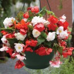Begonia Odorata Mixed 1 Pre-Planted Hanging Basket, only £12.99!