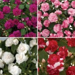 Busy Lizzie Double 6 Jumbo Ready Plants, just £10.99!