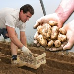Spring Jersey Royal New Potatoes 4lbs (1.8kg) , just £11.99!
