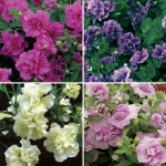 Petunia Tumbelina 6 Jumbo Ready Plants, just £10.99!