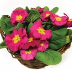 Mothers Day Pink Primrose Basket + FREE Milk Chocolate Hearts, just £14.99!