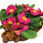 Mothers Day Pink Primrose Basket + Teddy Bear + FREE Milk Chocolate Hearts, just £19.98!