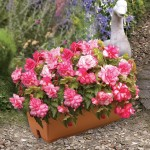 Begonia Pink Balcony 1 Pre-Planted Trough, only £12.99!