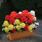 Begonia Superba Mixed 1 Pre-Planted Trough, only £12.99!