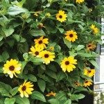 Trailing Sunflowers 6 Jumbo Ready Plants only £10.99!