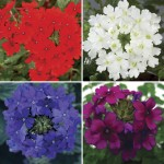 Verbena (Trailing) 6 Jumbo Ready Plants, just £9.99!
