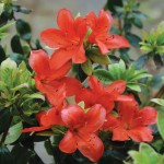 Azalea Orange Beauty 1 Plant 9cm Pot, just £7.99!