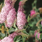 Buddleia davidii Pink Delight 1 Plant 9cm Pot just £7.99!