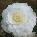 Camellia japonica Alba Plena 1 Plant 9cm Pot just £7.99!