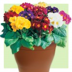 Polyanthus High Seas 1 Pre-Planted Container, just £12.99!