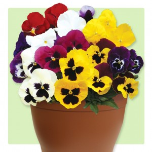 Pansy Colourburst 1 Pre-Planted Container, just £12.99!