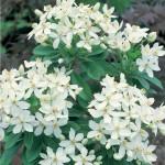 Choiysa Ternata (Mexican Orange Blossom) 1 Plant 9cm Pot just £5.99!