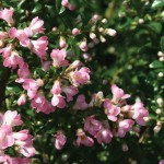 Escallonia Rubra Apple Blossom 1 Plant 9cm Pot was £7.99, Now Only £5.99!