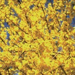 Forsythia Mini Gold 1 Plant 9cm Pot was £7.99, Now Only £5.99!