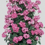 Geranium Antik (Climbing) Pink 3 Plants 9cm Pot, just £9.98