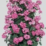 Geranium Antik (Climbing) Pink 3 Plants 9cm Pot, just £9.98