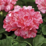 Geranium Zonal Peppermint Twist 3 Plants 9cm Pot, just £9.98