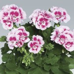 Geranium Zonal Fairy White Splash 3 Plants 9cm Pot, just £9.98