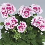 Geranium Zonal Fairy White Splash 3 Plants 9cm Pot, just £9.98