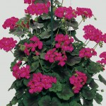Geranium Antik (Climbing) Violet 3 Plants 9cm Pot, just £9.98