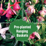 2 Fuchsia Trailing Mix Pre-Planted Hanging Baskets, only £19.98!