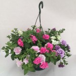 2 Petunia Tumbelina Pre-Planted Hanging Baskets, only £19.98!