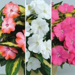 Busy Lizzie (Impatiens) New Guinea Strike Collection 3 Plants 9cm Pot, just £9.98