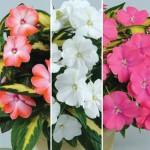 Busy Lizzie (Impatiens) New Guinea Strike Collection 3 Plants 9cm Pot, just £9.98